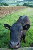 Nosey Cow  DSC_9317