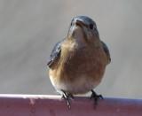 _MG_6893 Bluebird