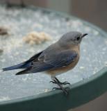 _MG_7352 70-200 Mrs. Bluebird