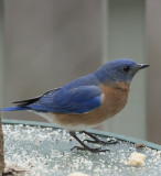 _MG_7355 Mr. Bluebird