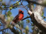 _MG_8481 Cardinal