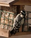 _MG_0923 Downy Woodpecker