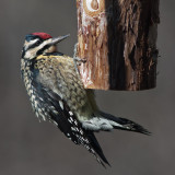 Female Yellow Bellied Sapsucker - My first!