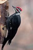 _MG_1147 Male Pileated Woodpecker