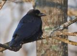 _MG_0024 Cold Crow