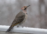 _MG_0092 Northern Flicker in Snow