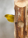 _MG_0314 Pine Warbler