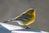 _MG_1375 Pine Warbler