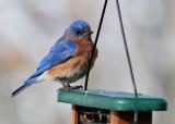 _MG_0208 Sad Looking Bluebird