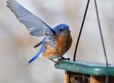_MG_0209 Male Bluebird