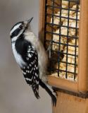 _MG_0213 Female Downy Woodpecker