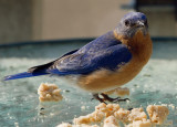_MG_0232 Bluebird on Table.jpg