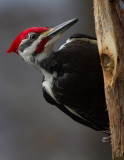 _MG_0441  Male Pileated Woodpecker