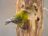 _MG_0850 Pine Warbler