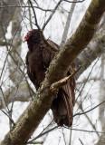 _MG_1204 Turkey Vulture