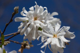 _MG_1343 Star Magnolia