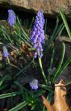 P1070269 Grape Hyacinth