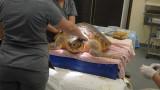 P1070837 Injured Loggerhead Sea Turtle