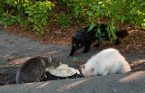 Feral Cats at Best Western Motel