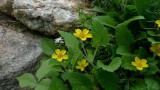 P1080089 Chrysogonum virginianum 'Allen Bush' Golden Star