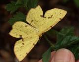 DSCF6809 Butterfly on Queen Anne's Lace