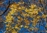 _MG_9679 Fall's Golden Hues