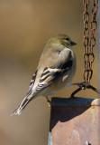 _MG_0296 Goldfinch