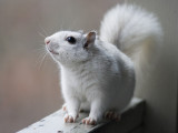 _MG_0422 Uppity White Squirrel