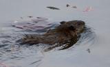 _MG_3389 Beaver