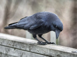 _MG_1058 Charming Crow