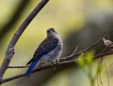 _MG_3965 Juvenile Bluebird