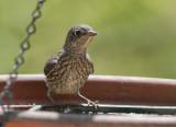 _MG_1231 Juvenile Bluebird