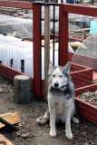 Lobo at the Gate