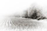 Fog, hedge, cotton