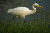 Intermediate Egret (中白鷺)