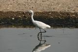 Little Egret (小白鷺)