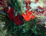 Orange-fin anemonefish (Amphiprion chrysopterus)
