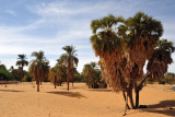 Palm trees near Old Dongola