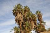 Palms along the Nile