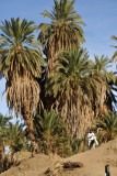 Palms on the Nile