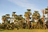 Palm trees on the west bank of the Nile, Old Dongola