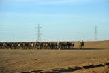 Herd of around 60 camels in line-abreast formation heading north to Egypt