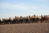 Herd of camels along the road south of Dongola