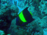 Yellowband angelfish (Pomacanthus maculosus), Sudan-Red Sea