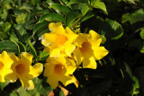 Yellow flowers, Grand Baie