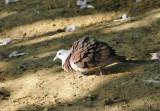 Mauritius Pink Pigeon (Nesoenas mayeri)
