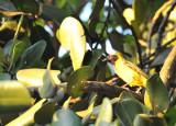 Village Weaver (Ploceus cucullatus), Mauritius
