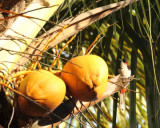 Fruit with a Red-whiskered Bulbul (Pycnonotus jocosus)