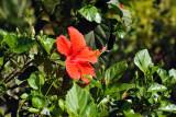 Red hibiscus at La Plantation, Mauritius