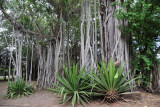 Banyan trees, Mauritius-Balaclava